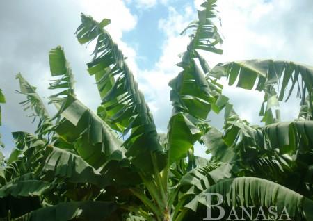 Banasa, plantaciones de banano