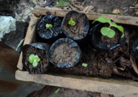Banasa ayuda a reforestar rivera del río Pacayá